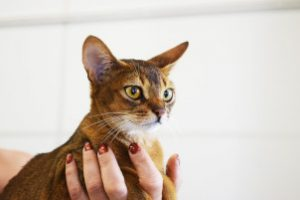 beautiful abyssinian brownish red cat